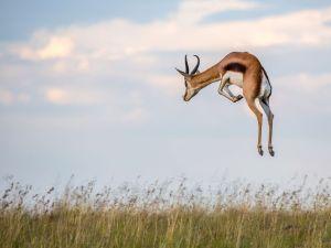 pronking-springbok-karoo-africa_88623_990x742